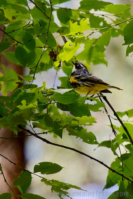 My friend, the Yellow-rumped Warbler