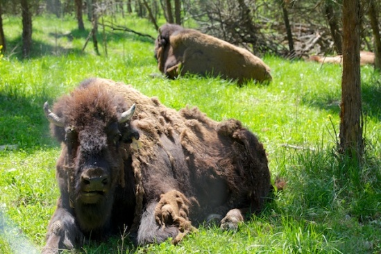 Even the bison were shedding