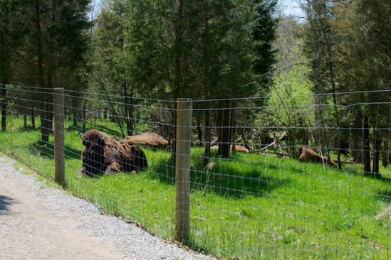 When I first spotted the bison, I thought I was seeing round bales of hay or something