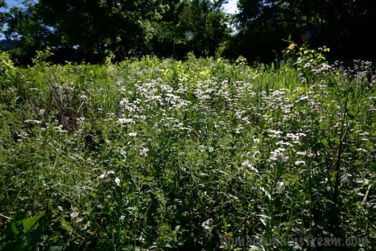 Fleabane (I think) filling a small meadow