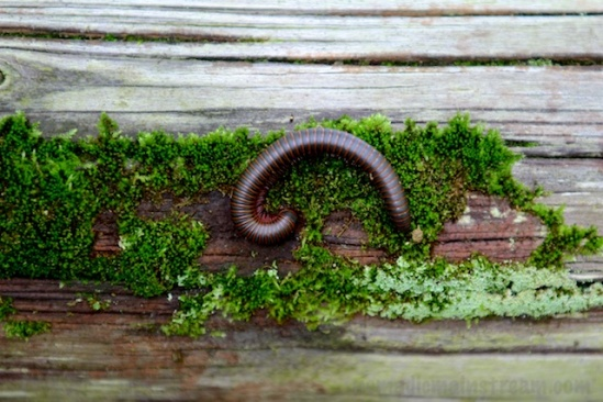 Centipede on moss
