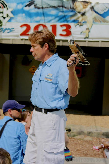 John with Gilbert, the American Kestrel