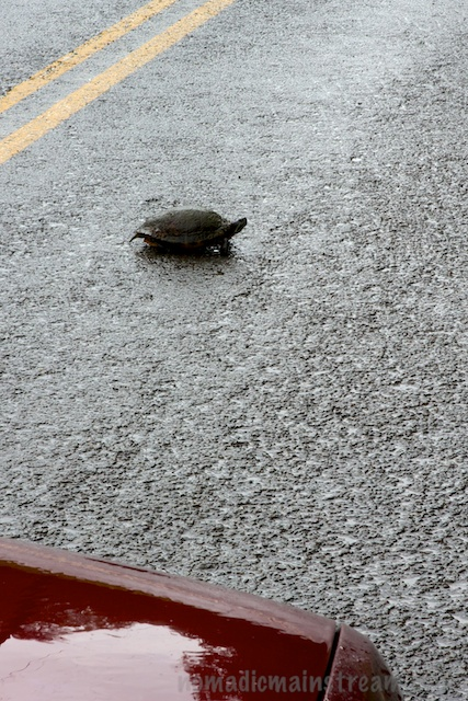 One of the 2 turtles we stopped to help cross the road