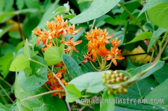 In spite of their bright colors, these orange flowers were hard to spot from the sidewalk