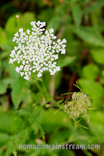 Queen Anne's Lace looking regal