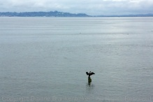 A patient cormorant drying its wings