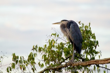 Heron hanging out (Canon 5D Mark III)