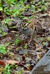 A white-throated sparrow was a much easier subject than the belted-kingfisher