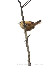 A carolina wren refused to come down lower for a better view of him