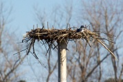 A Belted Kingfisher turning an abandoned Osprey nest into a convenient fishing perch