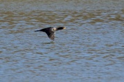 A low-flying cormorant