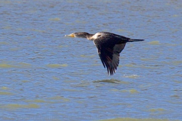 A cormorant so close to the water that his wingtip nearly brushes the surface