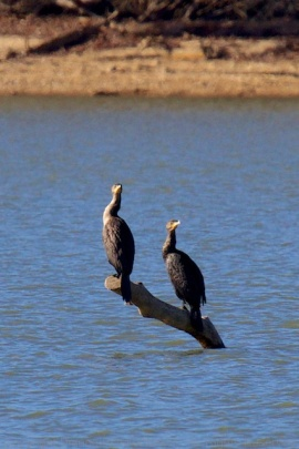 Seeing double--double-crested cormorants, that is