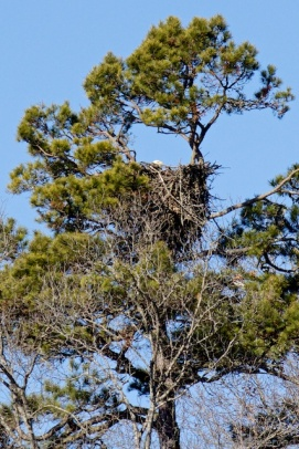 A female bald eagle sitting on her VW-sized nest