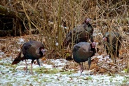 A few of the turkey stragglers