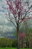 Red buds are beginning to appear, but they were at peak by now in 2012.