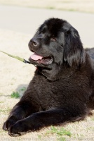 This newfie was apparently a professional dog model