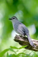 Grey Cat Bird
