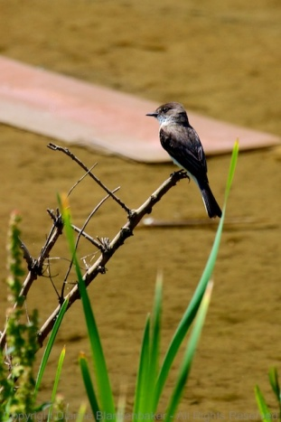 "Eastern phoebe with a lost cardboard ""sled"" drowning in the background"