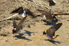 Cliff swallows gathering mud