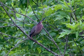 Green Heron doing his best to look like part of the tree