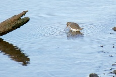 Spotted Sandpiper with an itch