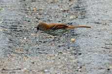 Brown thrasher choking on a mulberry