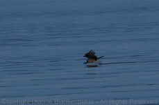 The female adult Osprey skimming the surface of the lake at dusk