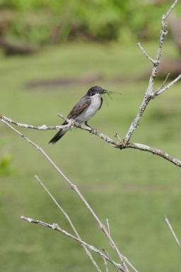 This Eastern Kingbird at Curtain Pole Marsh snagged a dragonfly