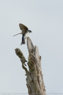 Tree Swallow adult returning to the nest
