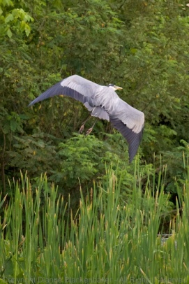 I imagine this blue heron felt frustrated that he couldn't catch a fish