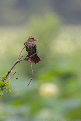 A female Red-Winged Blackbird with a tasty insect at Amnicola Marsh