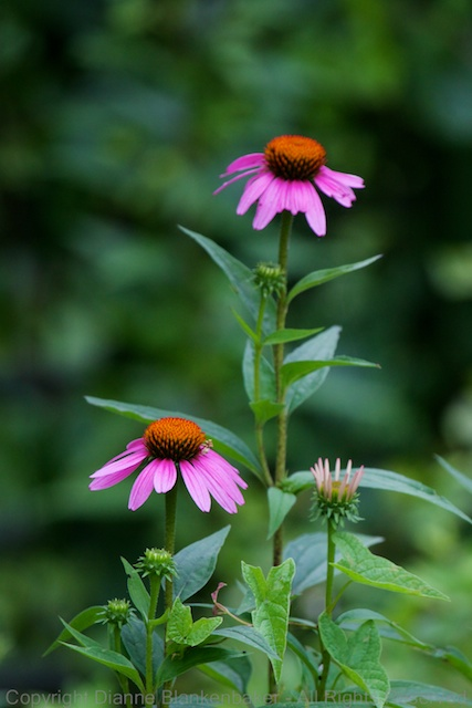 A couple of cone flowers at Renaissance Park