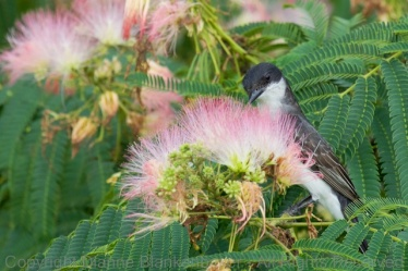 A lovely Eastern Kingbird Adult used the Mimosa blooms for cover as s/he approached me--curious about the strange lady and dog always watching the recent fledglings.