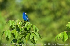 My Indigo Bunting friend finally posed in the open for me in decent light AND I managed to find focus!