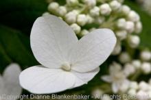 More oak leaf hydrangea