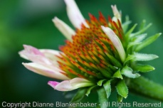 early stage of bloom for a cone flower
