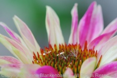 blooming cone flower
