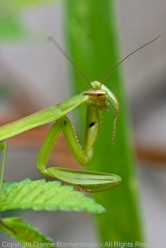 Bath time for a praying mantis hanging out amongst the blooms