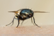 Yes, this is the arse-end of some kind of fly. I found it fascinating, none-the-less.
