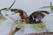 Green Heron grabs a fish