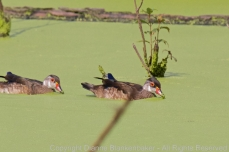 Eclipse mail wood duck scooping up pond plants