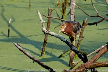 Don't know exactly what this green heron was doing, but his tongue's looking pretty bizarre