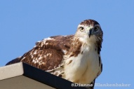 This red-tail hawk has been hanging out in the 'hood for the past couple of weeks